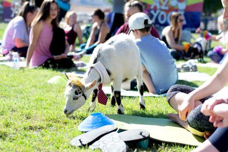 90% Goat, 10% Yoga
