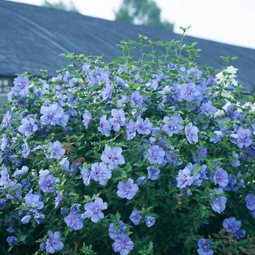 Blue Chiffon Rose of Sharon - 3 gallon