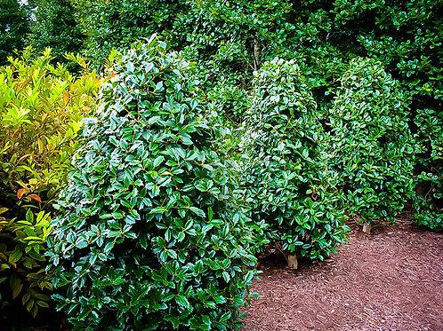Oakland Holly Tree - 10 gallon