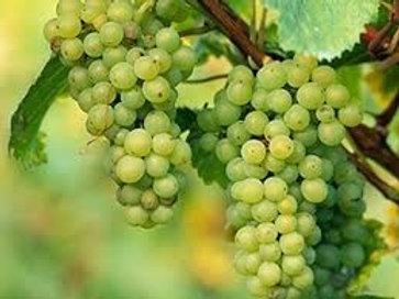 Pre Order - $14 Grapevine Niagara White 2 Gal