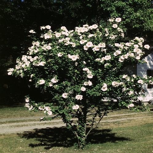 Rose of Sharon -7 gallon
