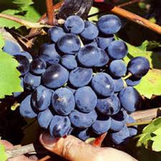 Pre Order - $14 Grapevine Fredonia 2 Gal