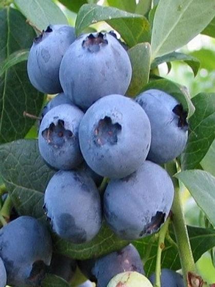 Pre Order - $14 Blueberry Alapha 1 Gal