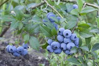 Pre Order - $14 Blueberry Sweetheart1 Gal