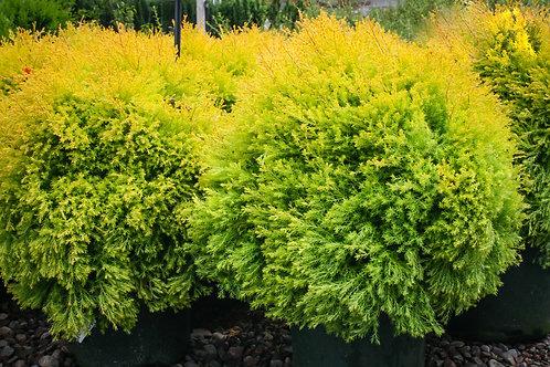 Rhingold Arborvitae - 3 gallon