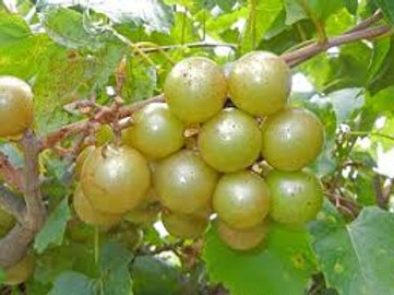 Pre Order - $17 Muscadine Fry Bronze 2 Gal