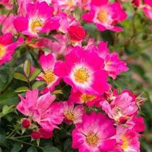 Drift Roses - dark pink