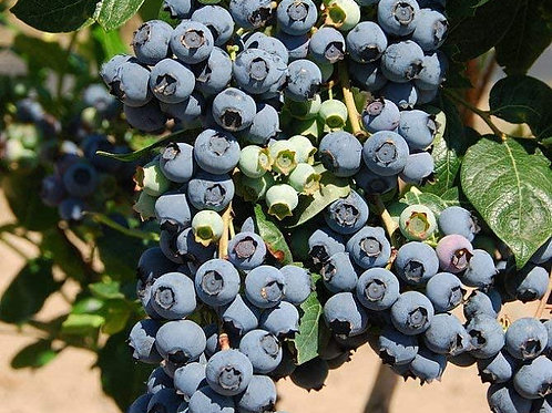 Pre Order - $14 Blueberry Premier 1 Gal