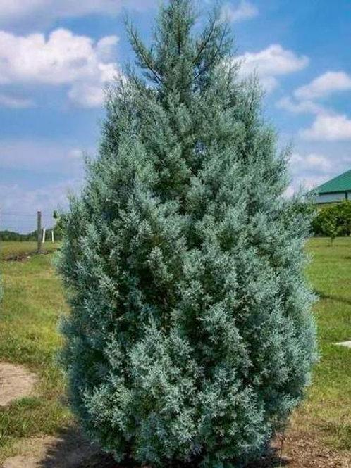 Carolina Sapphire Cypress - 7 gallon
