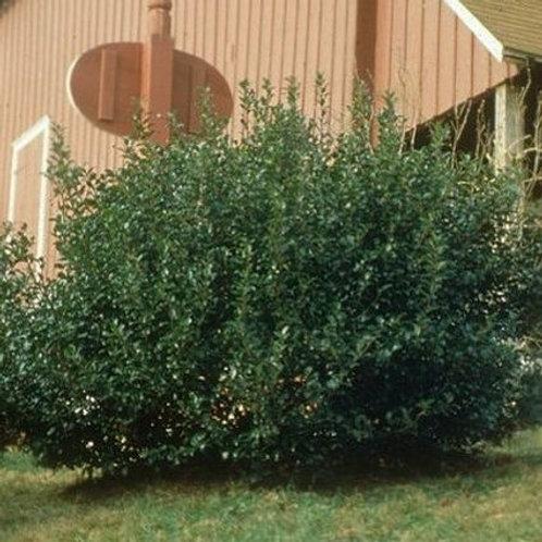China Holly Tree - 3 gallon