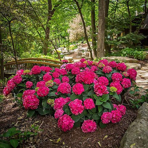 Endless Summer Hydrangea - dark pink