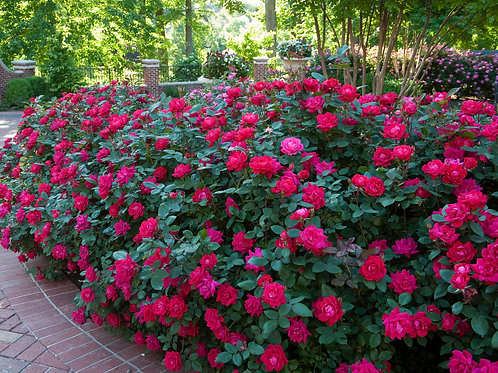 Knock Out Roses - dark pink