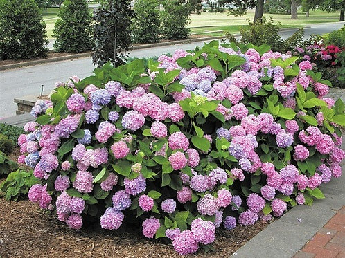 Endless Summer Hydrangea - light pink