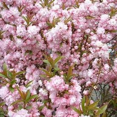 Pre Order - $21 Pink Flowering 3 gal