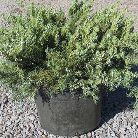 Grey Owl Juniper - 3 gallon