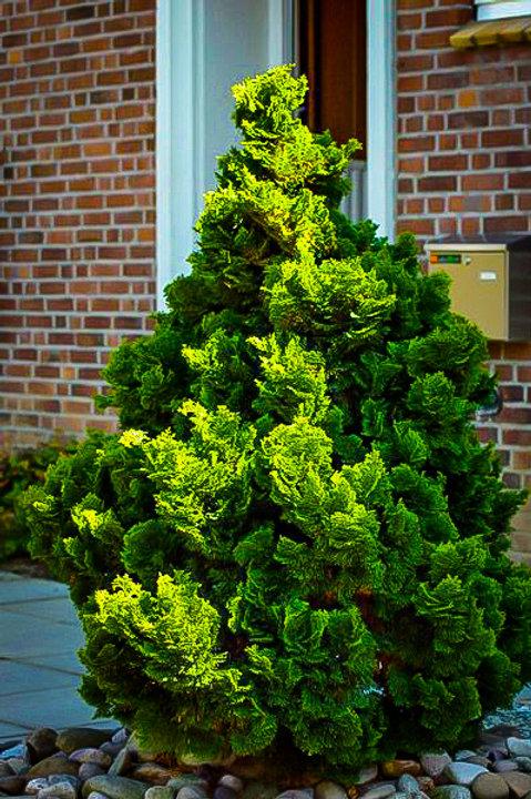True Dwarf Hinoki Cypress - 3 gallon