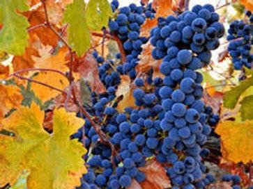 Pre Order - $14 Grapevine Venus Dark Blue seedless 2 Gal