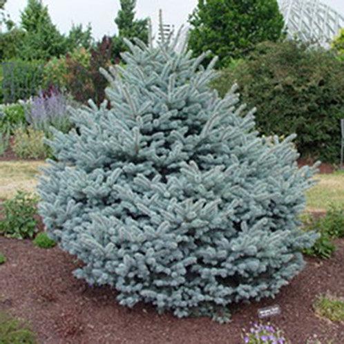 "Montgomery Blue Spruce ""standard"""