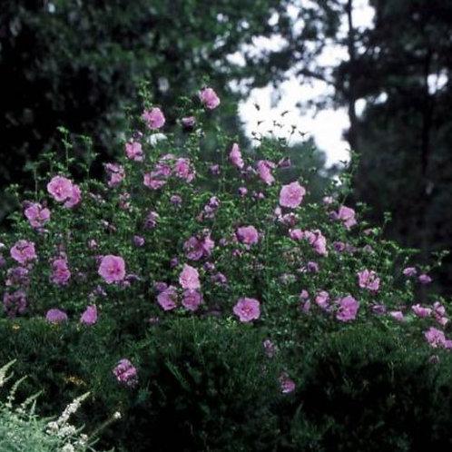 Lavender Chiffon Rose of Sharon - 3 gallon