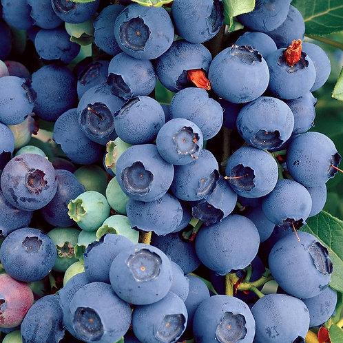 Pre Order - $14 Blueberry Blue Crop 1 Gal