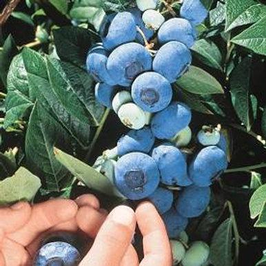 Pre Order - $14 Blueberry Chandler 1 Gal