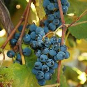 Pre Order - $17 Grapevine Concord  3 Gal