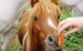 Image of pony sniffing a carrot.