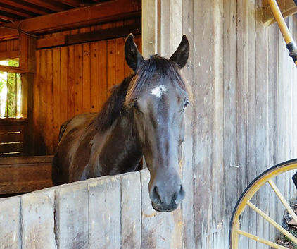 Imageof black horse looking out from barn window.