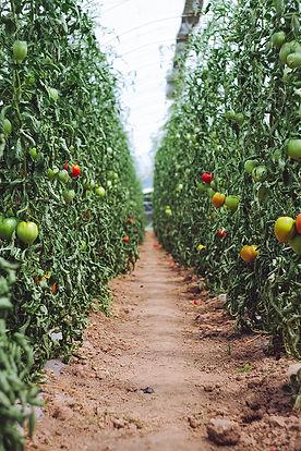 TrellisTomatoes.jpg