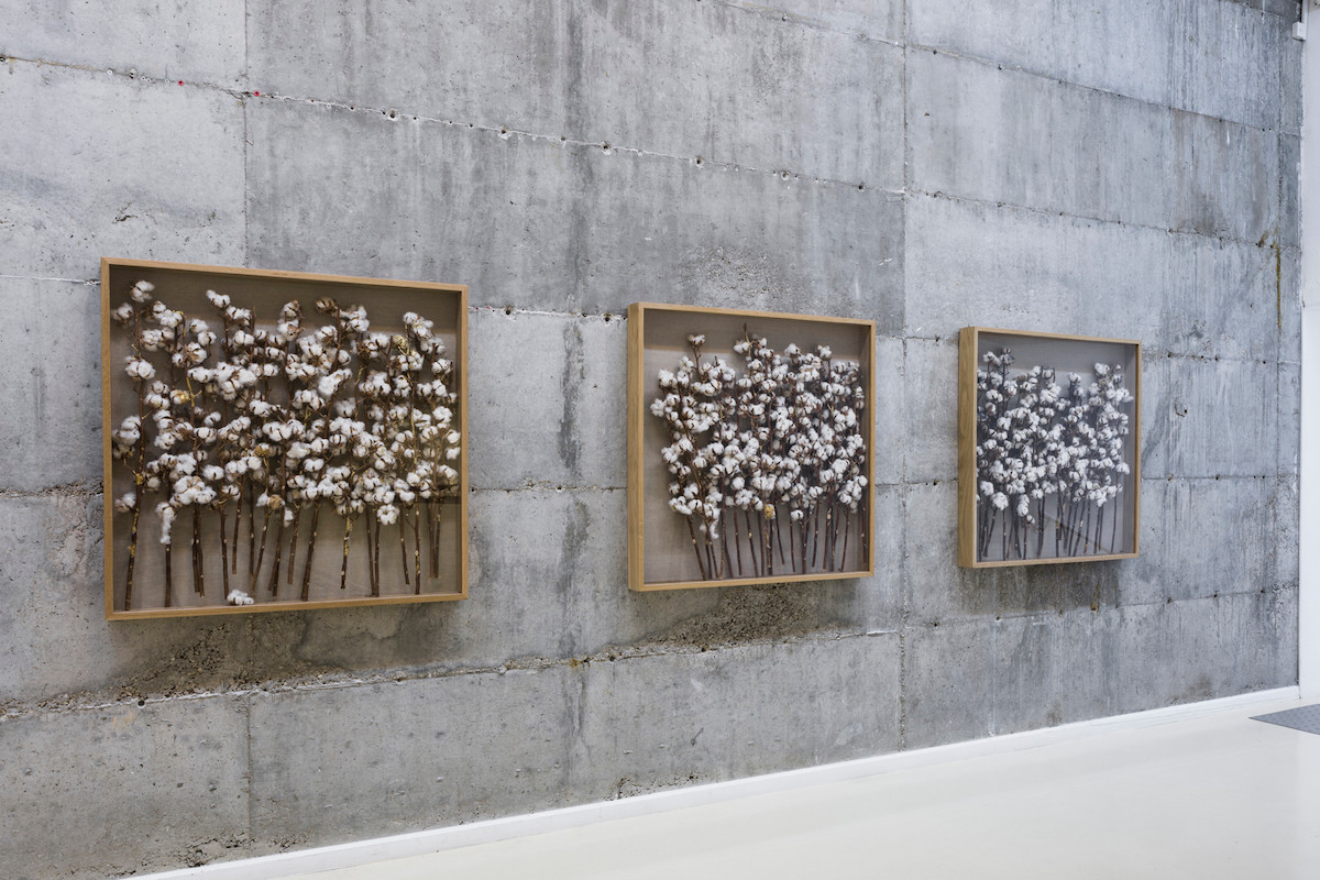 Installation View - The Golden Mean, 2015, Cotton Branches, Gold Acrylic paint and Tar. a series of 8 unique works each 100X100X12 cm.