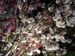 桜の季節に思う。