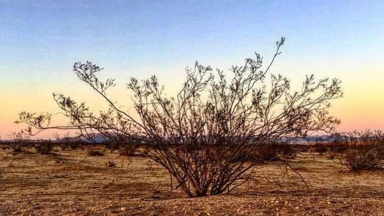 Online Exploration of Ancient Desert Medicine - Creosote Bush Lecture & Medicine Making.