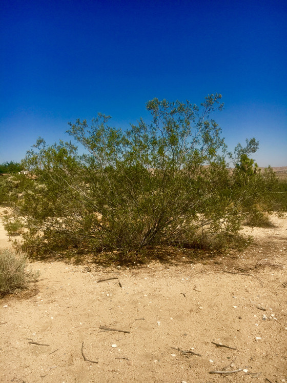 Creosote Bush Ubiquitous Desert Medicine & New Products