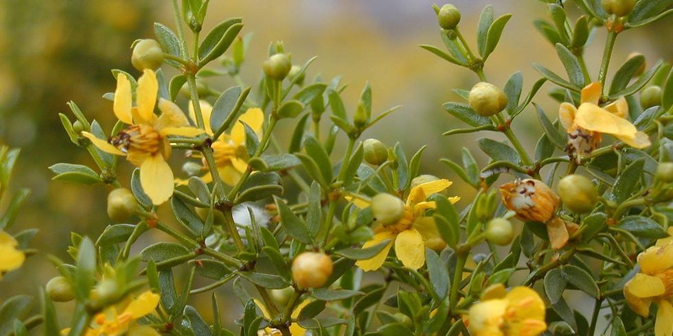 Desert Medicine with Creosote Bush (Larrea tridentata)