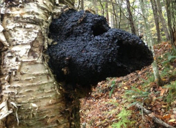 Chaga, the increase in popularity and the impact.
