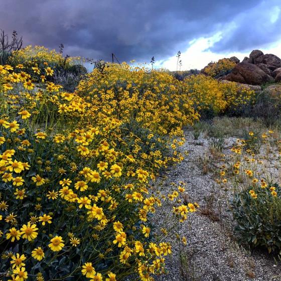 Meet a medicinal desert native, Brittlebush.