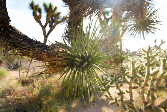 Protecting Joshua Trees - Podcast on Herbrally