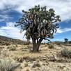 FRIENDS OF ARIZONA JOSHUA TREE FOREST SEEK DESTINATION OF NATIONAL MONUMENT.