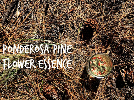 Evergreen Vibrational Medicine. Ponderosa Pine Flower Essence.