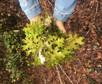 Lobaria pulmonaria - Lung Lichen, a lichen story.