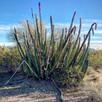 Keystone Species of the Sonoran Desert.
