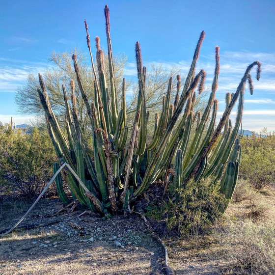 Keystone Species of the Sonoran Desert.