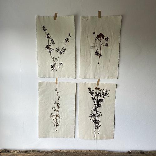Herbarium Sheets