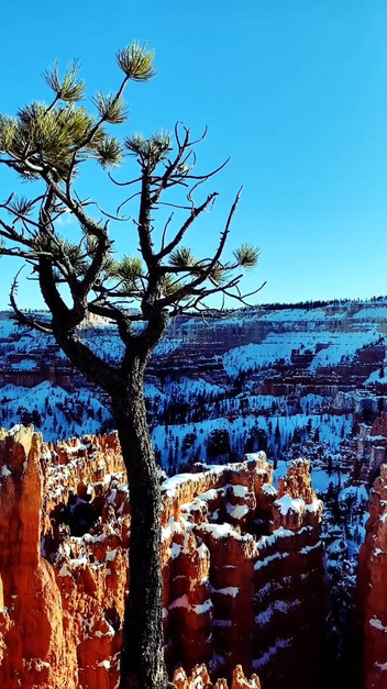 Finches and Limber Pine (Bryce Canyon)