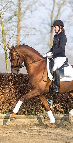 Galandro Dutch KWPN Stallion