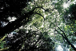 Forest canopy - Machame.JPG