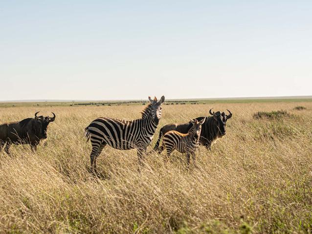 Kenia, Serengueti 2019