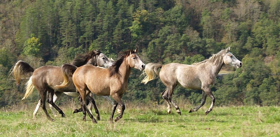 chevaux de 4 ans à la vente