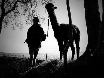 alpaca shiloutte_edited.jpg
