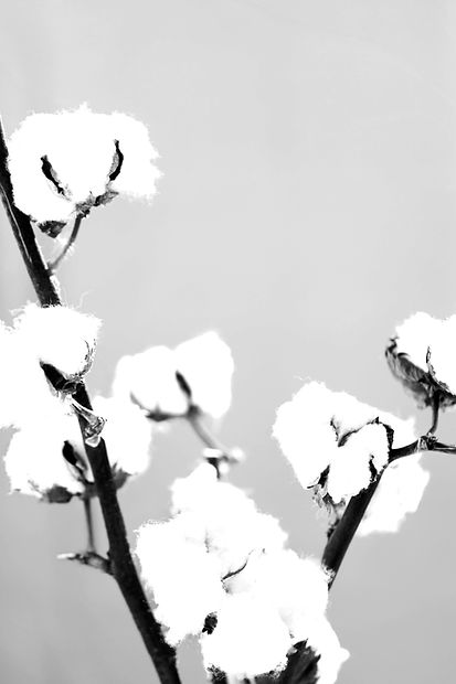 Cotton%252520Plant_edited_edited_edited.jpg